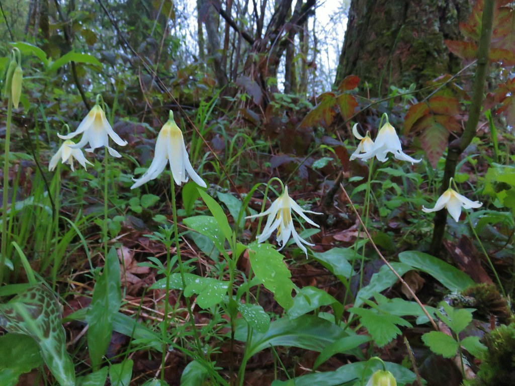 Giant fawn lilies