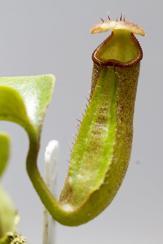 Nepenthes nebularum BCP sg