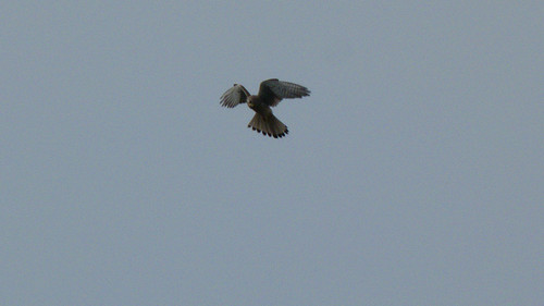 Kestrel hovering, Doxey Marshes
