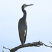 White-faced Heron by Through Gregs lenses