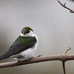 Violet-Green Swallow rest and poses