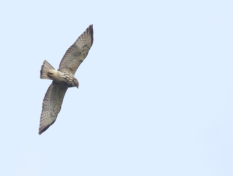 Broad-winged Hawk, Buteo platypterys Ascanio_best Costa Rica 199A8229