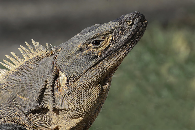 Black Iguana or Siny-tailed Iguana, Ctenosaura similis Ascanio_Best Costa Rica 199A7783