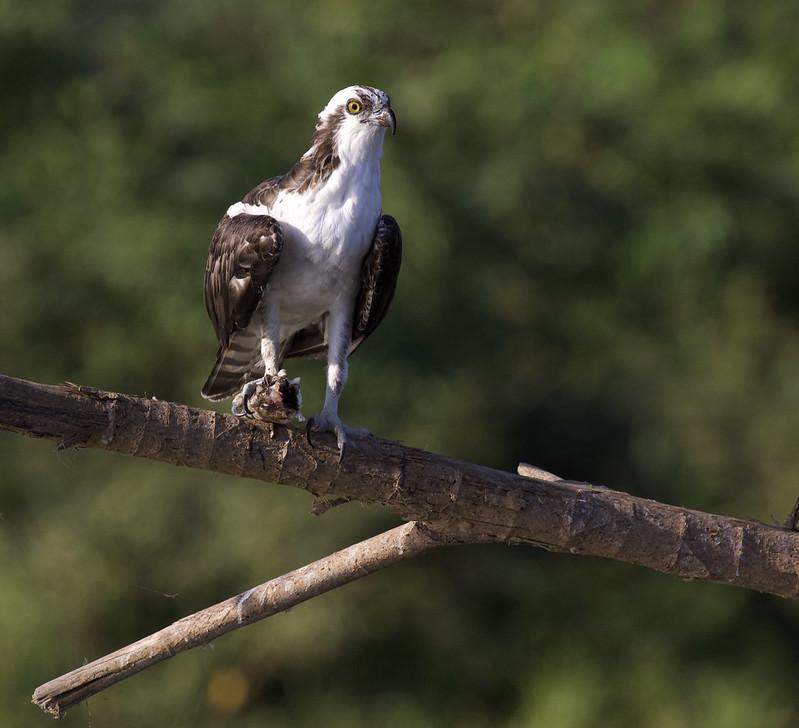 Osprey, Pandion haliaetus Ascanio_Best Costa Rica 199A8285