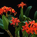 Cattlianthe Fire Dance ' Patricia ' by emmily1955