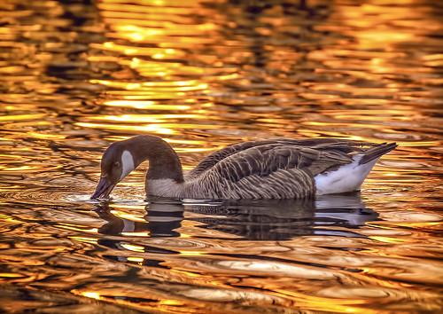 druidridge duckpond canadagoose ripples reflections sunset