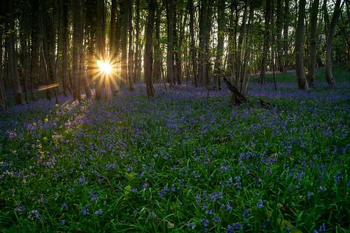 botleywoods bluebells bluebellwoods fareham hampshire wildflowers flora sunrise dawn sunburst sony alpha sonya58