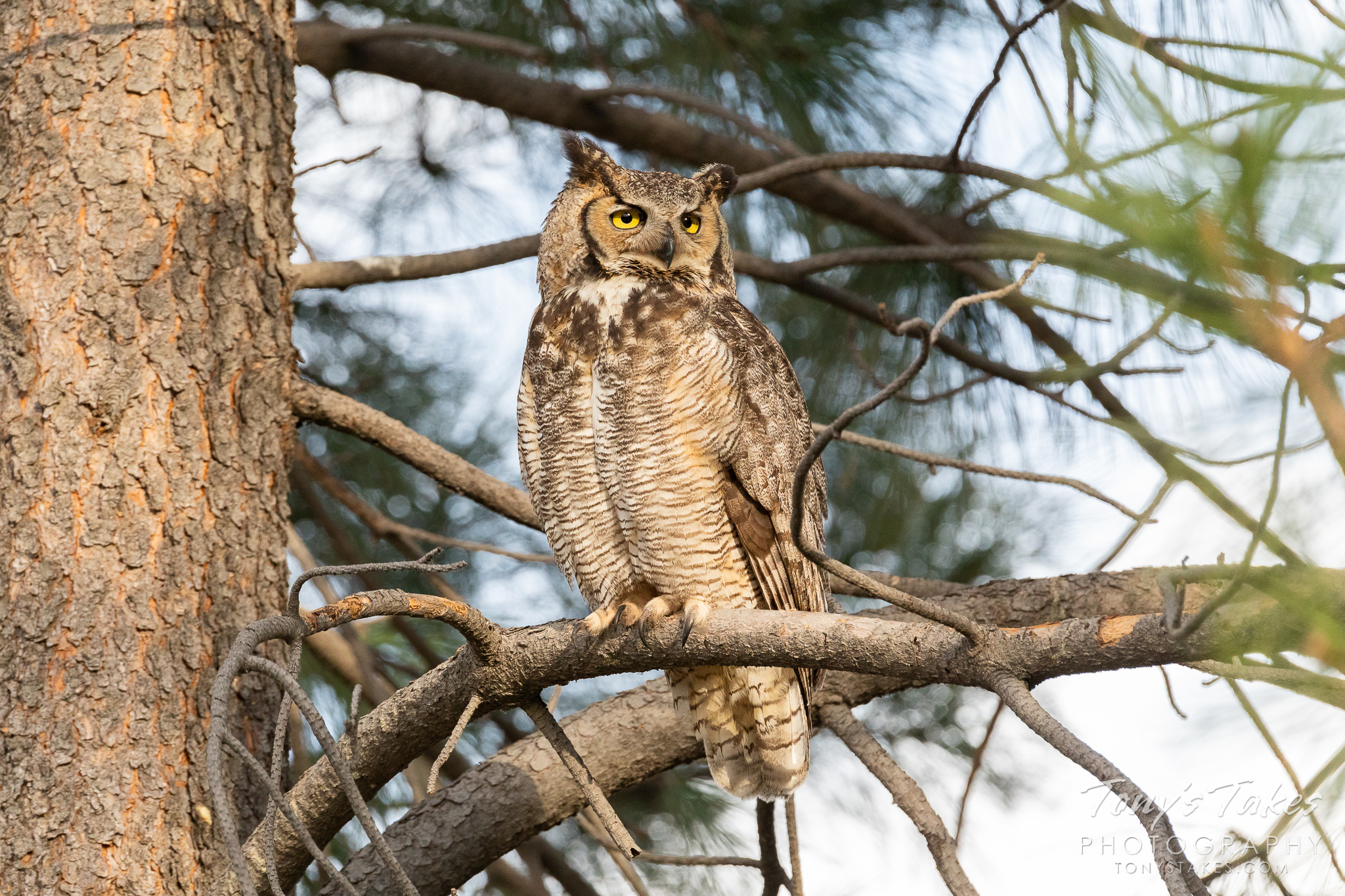 Great horned owl in the pines