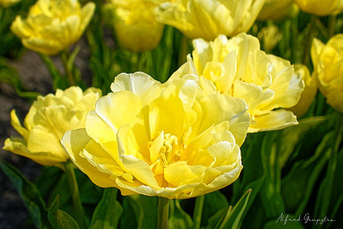 Yellow Easter Tulips