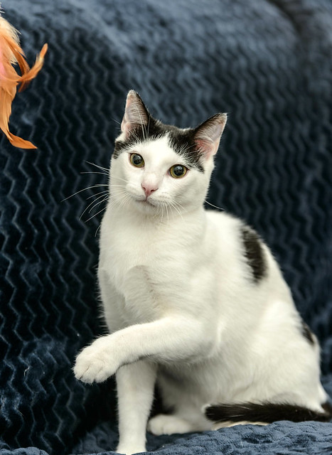 Morad, gatito blanco con toques negros muy juguetón esterilizado, nacido en Octubre´18, en adopción. Valencia. 46750720155_54bd80f2ab_z