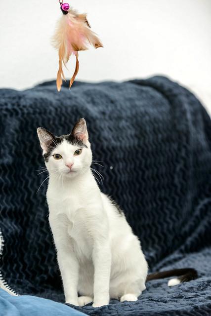 Morad, gatito blanco con toques negros muy juguetón esterilizado, nacido en Octubre´18, en adopción. Valencia. 46750721085_e3fcd941f3_z