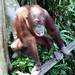 Orangutan in East Malaysia - Kent's photos