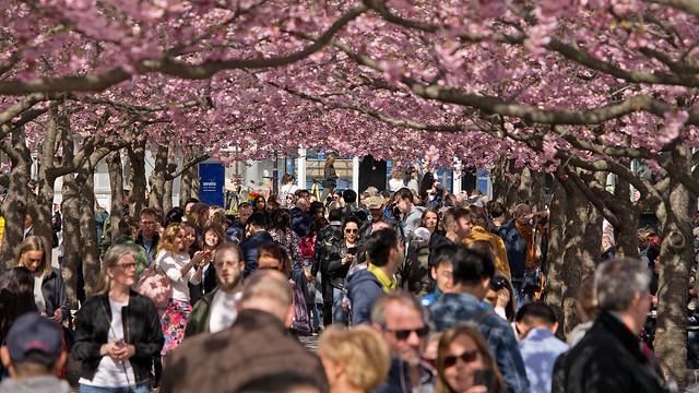 Cherry Blossom time in Kings Garden Park in Stockholm