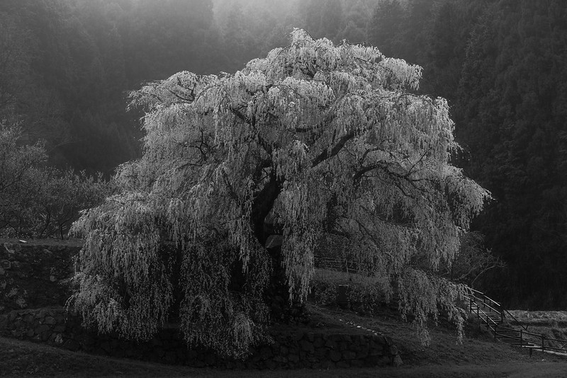 An Old Cherry Tree / 又兵衛桜 2019 monochrome