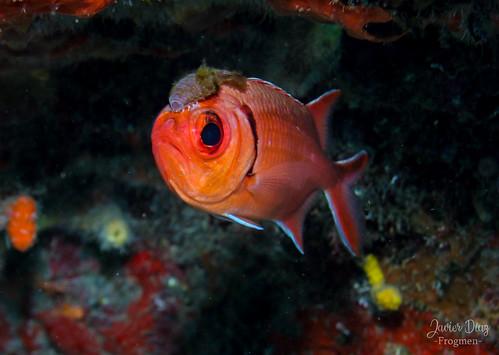 Blackbar soldierfish (en). Candil de Piedra (es). [Myripristis jacobus]. Habana. Cuba. | by frogmen1964