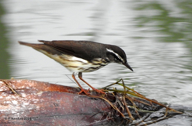 Louisiana Waterthrush/Lifer