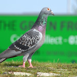 Pigeon at Preston Docks
