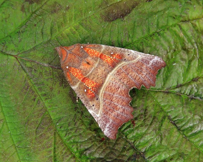 72.001 Herald - Scoliopteryx libatrix