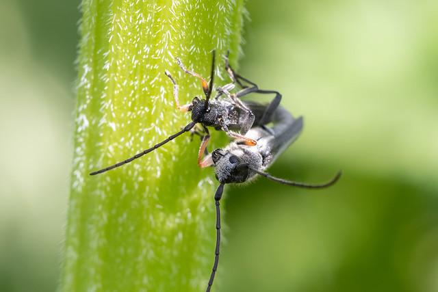 Umbellifer longhorn beetle