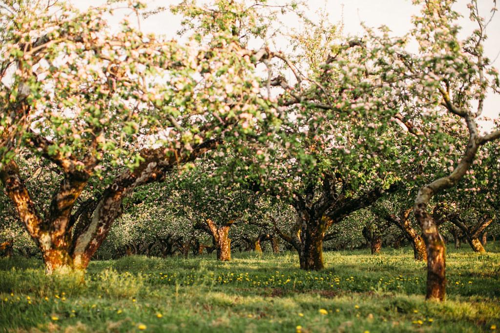apple blossom-53