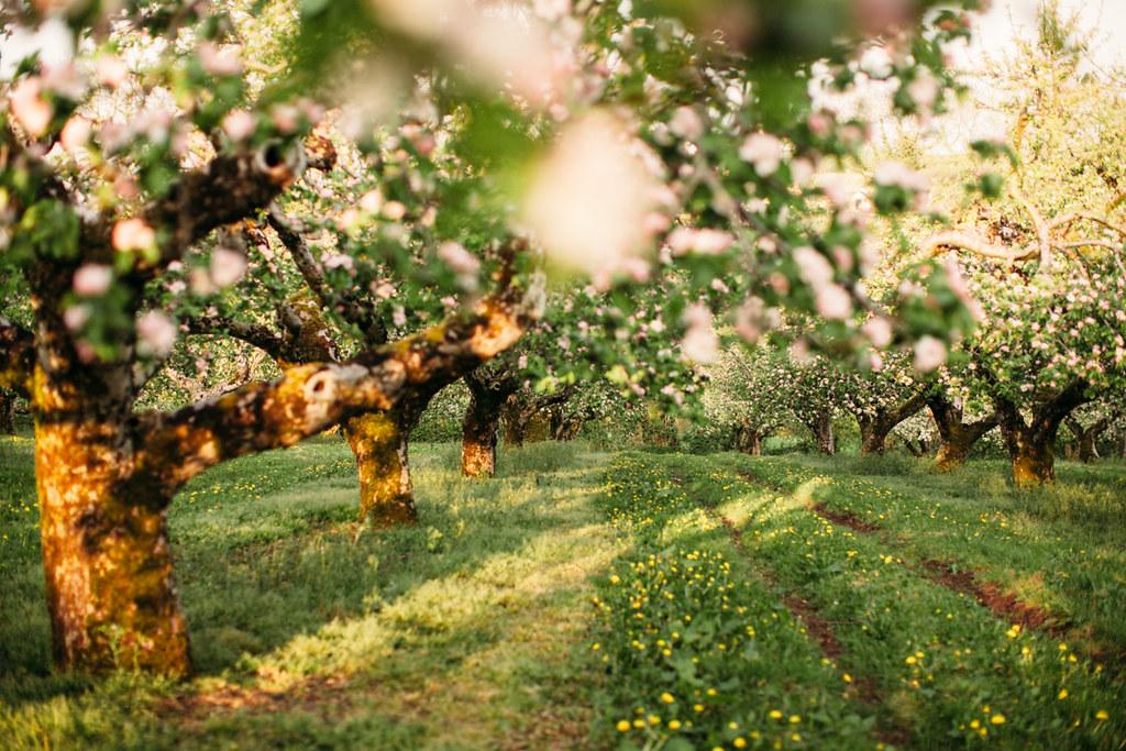 apple blossom-52
