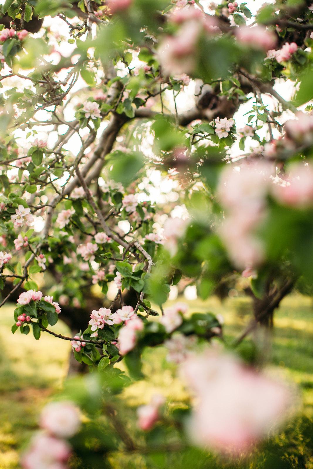 apple blossom-51