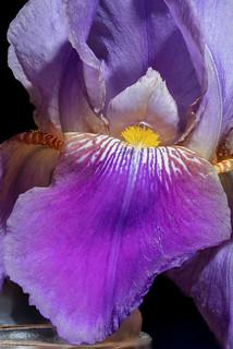 Bearded Iris focus stack
