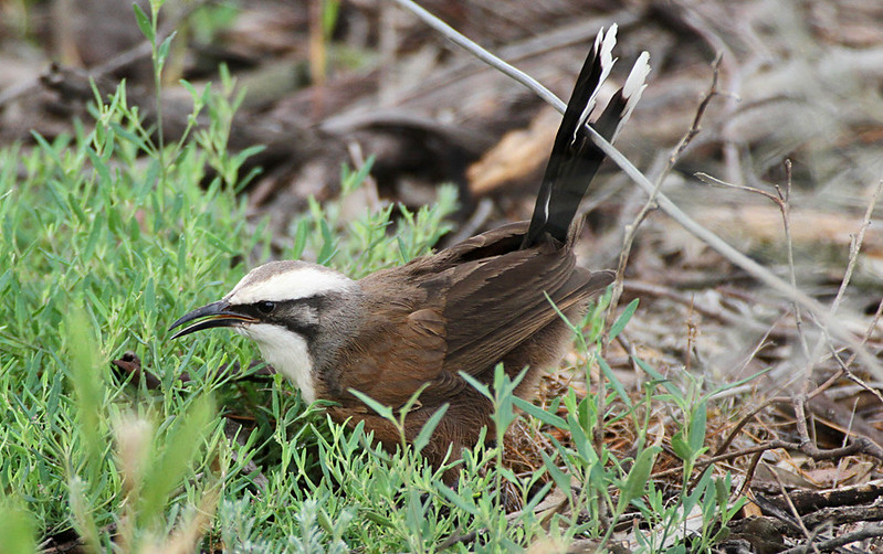 Grey-crowned Babbler (Pomatostomus temporalis)