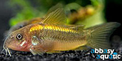 cory panda gold | by abbasyaquatic