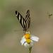 Zebra Heliconian (Heliconius charithonia) - Holguín Province, Cuba - Feb 2019 by Dis da fi we
