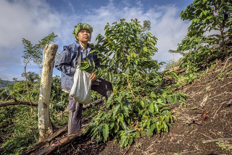 Nông dân trồng cà phê Indonesiaphụ thuộc vào cây trồng cà phê như một nguồn thu nhập chính