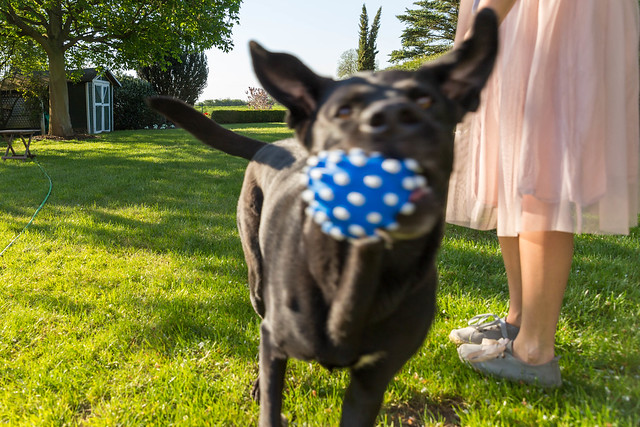 Woman in rosé tulle skirt plays with a black Labrador dog and a blue dog toy ball in a sunny green garden