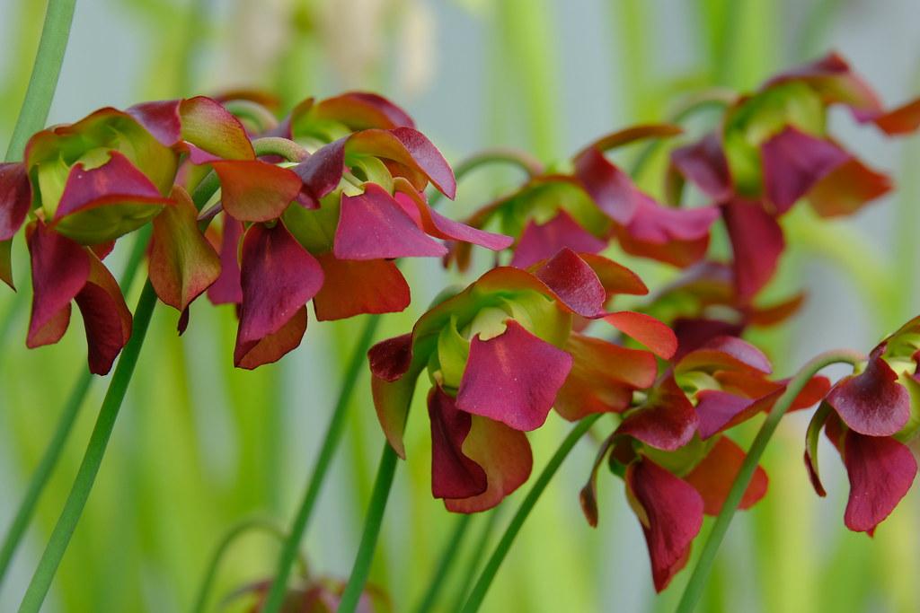 Sarracenia rubra flowers