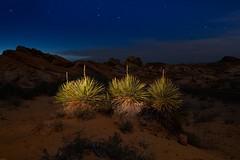 Yucca plants. 2019