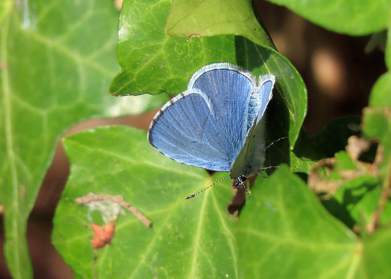 Holly Blue - Celastrina argiolus