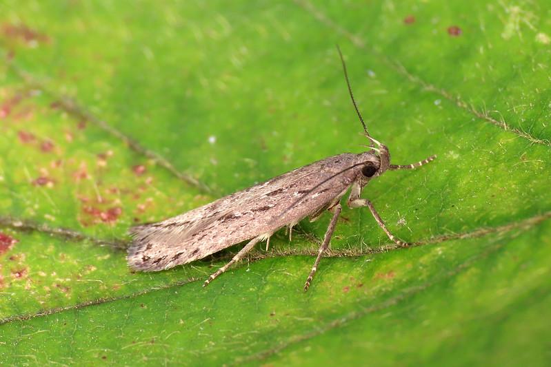 35.017 Heather Groundling - Neofaculta ericetella