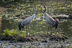 Graue Kraniche Pärchen - gray cranes couple