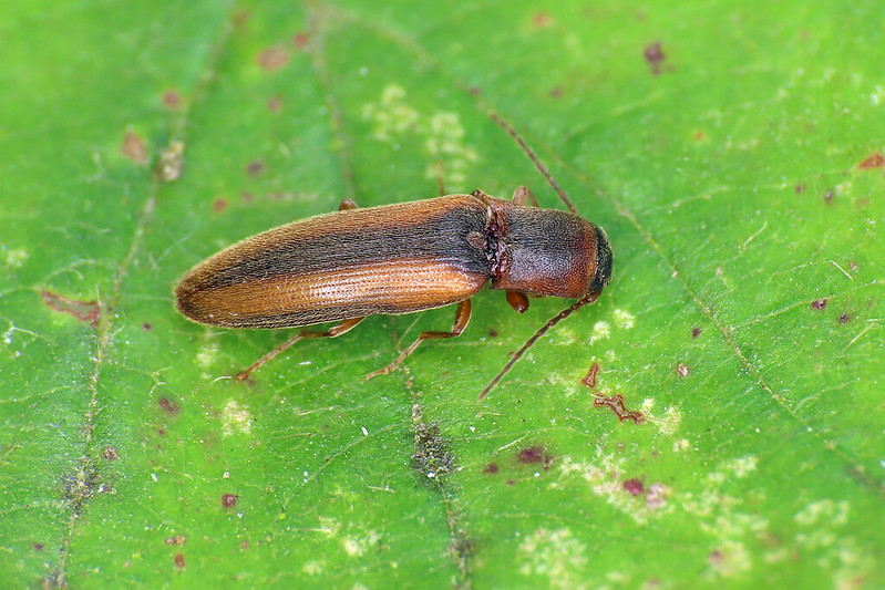 Dalopius cf. marginatus