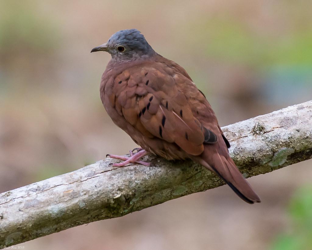 Ruddy Ground-Dove [Columbina talpacoti]