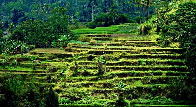 INDONESIEN, Bali - vorbei an Reisfeldern,  18125/11395