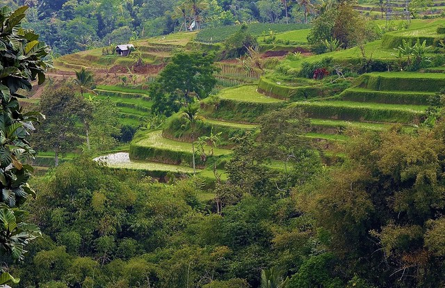INDONESIEN, Bali - vorbei an Reisfeldern,  18124/11394