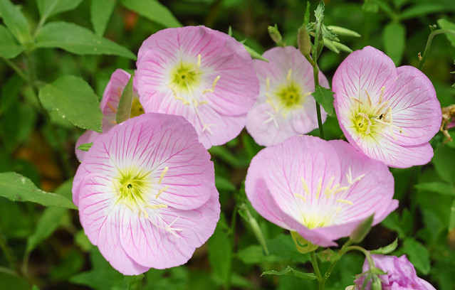 evening primrose family