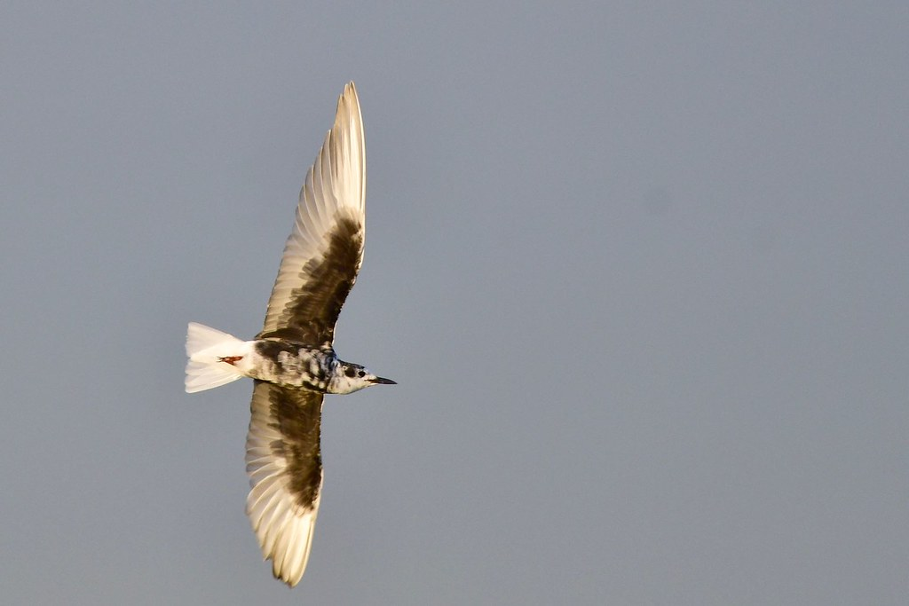 White -winged Tern
