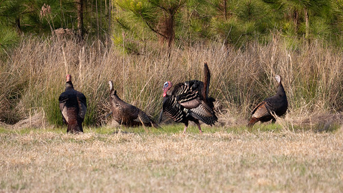 Photo of wild turkeys in a field