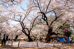 Snap photos in the season of cherry blossoms