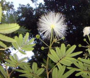 Calliandra portoricensis 46773059855_f7fc478922_o
