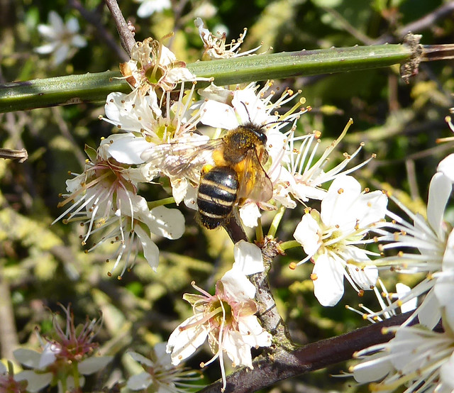 Solitary mining bee on Blackthorn