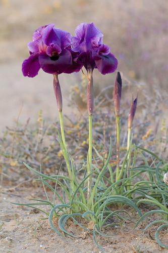 iridaceae iris mariae israel negev