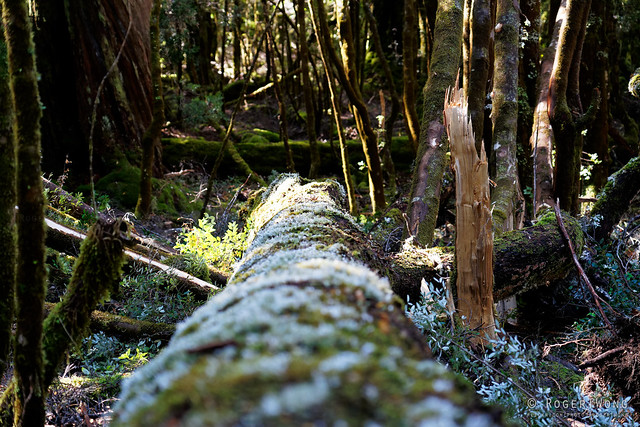 20190420-13-Myrtle forest on Gould Plateau Track