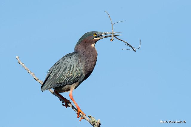 One bird, two sticks